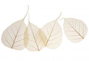 100 Pack Banyan Skeleton Leaves