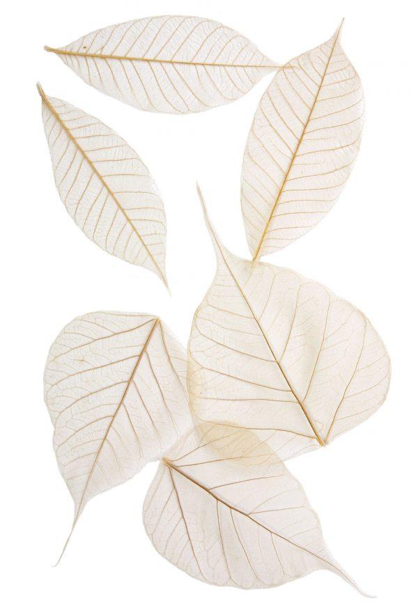 12 Pack Mixed Skeleton Leaves