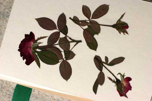 395 Pressed Roses Wendy Bellino CS